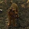 DUFFY (irish terrier pup)_3