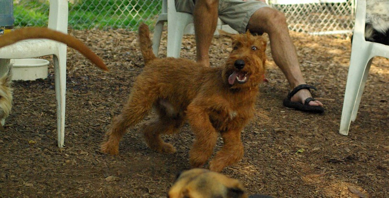 DUFFY (irish terrier pup)_1