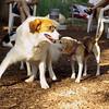 OWEN (new), Carley (beagle)_1