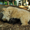 Nola (pup), Chase, Bella_1
