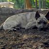 SPENCER (jersey dingo, pup)_1