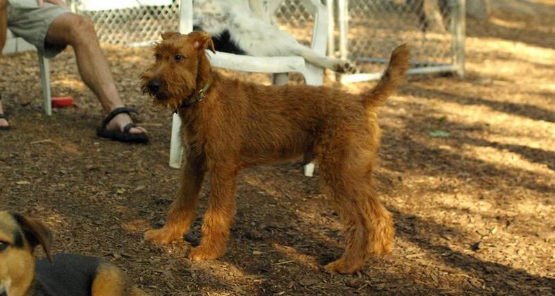 DUFFY (irish terrier pup)_2