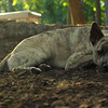 SPENCER (jersey dingo, pup)_2