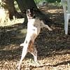 LEXIE (rat terrier)_6
