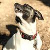LEXIE (rat terrier)_10