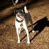 LEXIE (rat terrier)_21