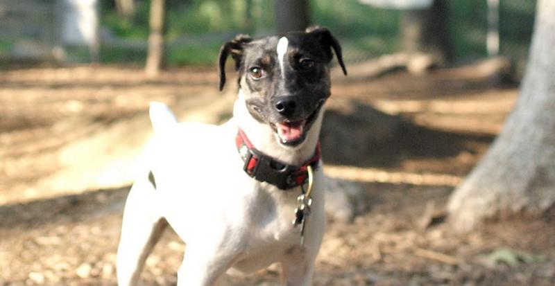 LEXIE (rat terrier)_33