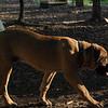 BODIE (african mastiff pup)_6