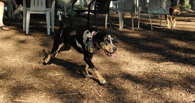 MILEY (hound pup)_1