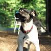 LEXIE (rat terrier)_2