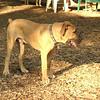 BODIE (african mastiff pup)_4