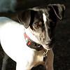 LEXIE (rat terrier)_9