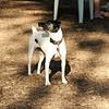 LEXIE (rat terrier)_15