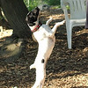 LEXIE (rat terrier)_5