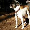LEXIE (rat terrier)_25