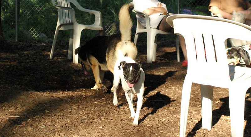 LEXIE (rat terrier)_18