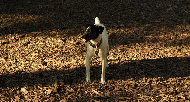 LEXIE (rat terrier)_17