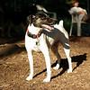LEXIE (rat terrier)_24