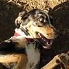 MILEY (hound pup)_2