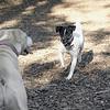 LEXIE (rat terrier)_14