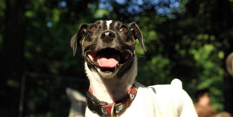 LEXIE (rat terrier)_32