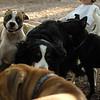 BUBBA (boxer pup)_2