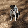 LEXIE (rat terrier)_16