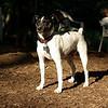 LEXIE (rat terrier)_23