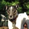 LEXIE (rat terrier)_26