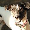 LEXIE (rat terrier)_8