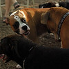 BUBBA (boxer pup)_1