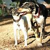 MILEY (hound pup)_6