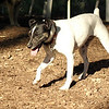 LEXIE (rat terrier)_22