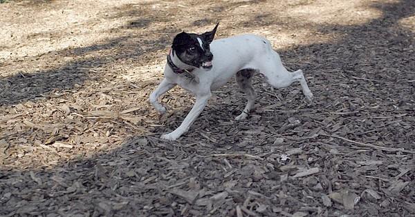 LEXIE (rat terrier)_11