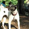 LEXIE (rat terrier)_1