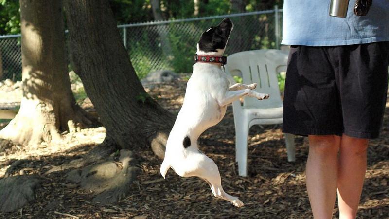 LEXIE (rat terrier)_35