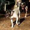 LEXIE (rat terrier)_19
