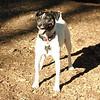 LEXIE (rat terrier)_20