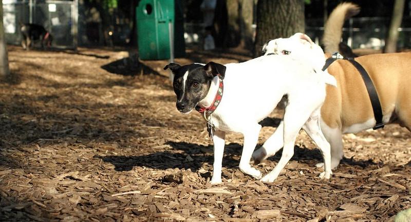 LEXIE (rat terrier)_13