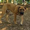 BODIE (african mastiff pup)_1