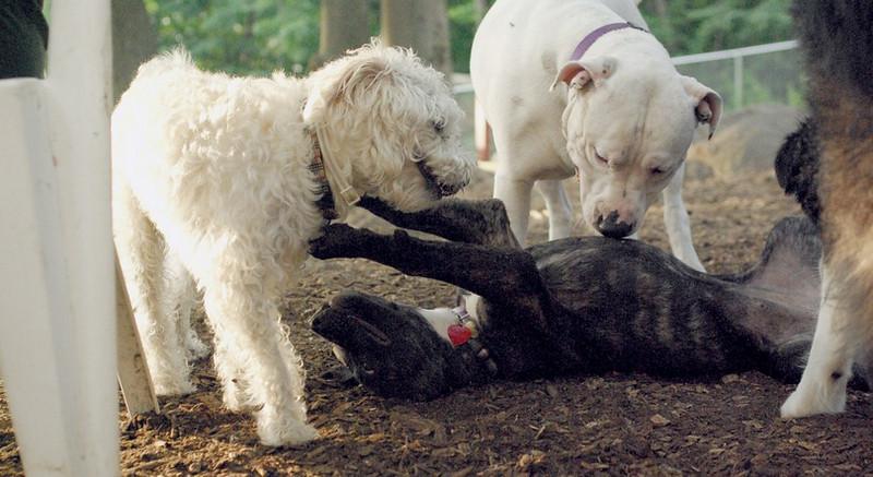 Mickey (schnoodle), Nola (puppy), POWDER_1