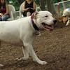 Powder (white pitbull)_1