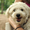 MICKEY (schnoodle)_3