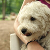 MICKEY (schnoodle)_4