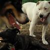 Powder (white pitbull)_2