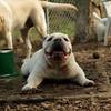 SPOT (bulldog)_5