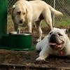 SPOT (bulldog)_6