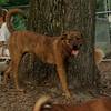 MAGGIE (brindle pup)_1