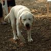 ROXY (lab puppy)_1