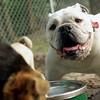 SPOT (bulldog)_2